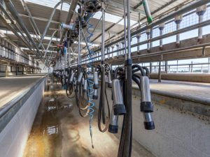 Milking operation in a dairy shed